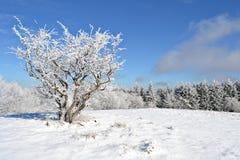 Snowy куст Стоковые Изображения RF