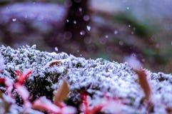 Snowy куст Стоковая Фотография