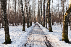 Snowy alley in birch forest Stock Image