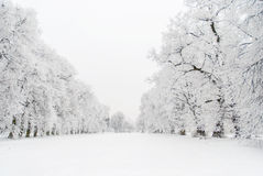 Snowy alley. Snowy trees in calm winter day Stock Photo