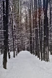 Snowy alley in the winter forest Royalty Free Stock Images