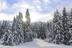Snowy Alpine Trees XI Royalty Free Stock Image