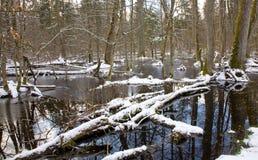 Snowy-alter swampy Wald Lizenzfreies Stockfoto