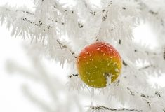 Snowy apple Stock Photography