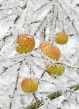 Snowy apples Stock Photo
