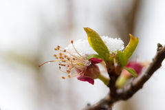 Snowy apricot blossom closeup Royalty Free Stock Photography