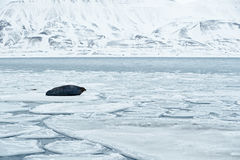 Snowy Arctic landscape with big animal. Walrus, Odobenus rosmarus, stick out from blue water on white ice with snow, Svalbard, Nor Royalty Free Stock Image