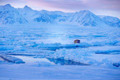 Snowy Arctic landscape with big animal. Winter landscape with animal. Walrus, Odobenus rosmarus, stick out from blue water on whit Stock Image