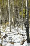 Snowy Aspens. Golden-leafed aspens in freshly-fallen snow on the Grand Mesa, Colorado, after an autumn blizzard Royalty Free Stock Photography