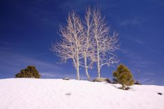 Snowy Aspens. Etched against a cobalt sky, white aspens cling to the crest of a snow covered ridge known as the Devil's Backbone in southwestern Utah Stock Photography