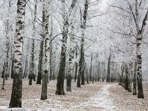 Snowy autumn birch park Stock Photo