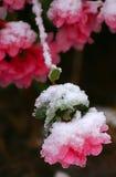 Snowy Azalea 2. Springtime snowfall on an azalea already in bloom Stock Photo