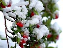 Snowy Azalea Red Buds. Springtime snowfall on an azalea already in bloom in Royalty Free Stock Image