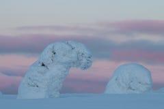 Snowy-Bäume in finnischem Lappland Lizenzfreie Stockfotografie