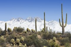 A Snowy Backdrop. The Four Peaks mountain range in Arizona is covered in snow as desert saguaro, cholla, and agave bask in sunlight Stock Image