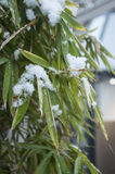 snowy bamboo leaves Stock Photography