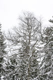 Snowy bare tree at winter Royalty Free Stock Photo