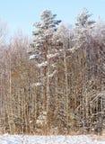 Snowy-Baumkronen Stockbilder