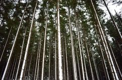 Snowy-Baumstämme nach Schneesturm Lizenzfreie Stockfotos