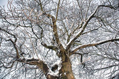 Snowy-Baumzweige Stockfotografie