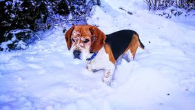 Snowy beagle Stock Image