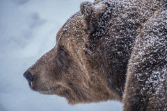 Snowy Bear. On the way to its sleep Royalty Free Stock Image