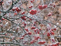 Red rowan berries on branches, Lithuania royalty free stock image