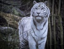 Snowy Bengal white tiger royalty free stock photo