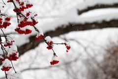 Snowy-Berg Ash Berries während eines Schnee-Sturms Stockbilder