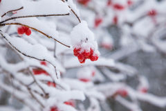 Snowy berry Stock Photography