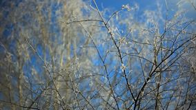 Snowy birch branches in winter sunny day against. Clear blue sky stock footage