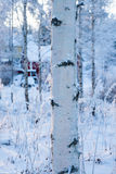 Snowy birch forest and sun light Stock Images