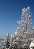 Snowy birch and some other trees. With bright blue sky in background Stock Photo