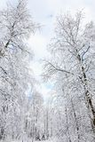 Snowy birch tree Royalty Free Stock Image