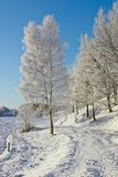 Snowy Birch tree Stock Photography