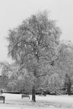 Snowy tree in park. Snowy birch tree in park in winter, black and white image Stock Images