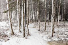 Snowy birch tree trunks. Wet snow is quickly covering the footpath and birch tree trunks during February snowfall Royalty Free Stock Photos