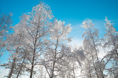 Snowy birch trees with a blue sky in the background. Winter picture with snow-covered birch trees photographed in frog perspective with a blue sky in the Stock Images