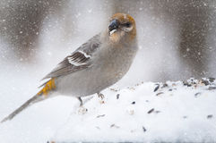Snowy bird Stock Images