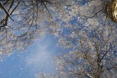 Snowy-Birkenwald Lizenzfreies Stockbild