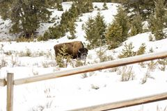 Snowy bison grazing in field in Yellowstone National Park, Wyomi Stock Images