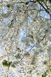 Snowy-Blüten Stockbild