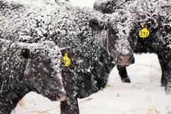 Snowy black angus cows Royalty Free Stock Photos
