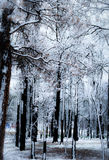 Snowy Black Forest, Colorado Royalty Free Stock Photo
