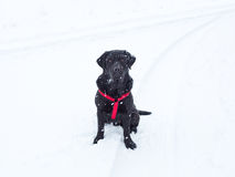 Snowy Black Lab. What's black and white and red all over? Our black lab in his red harness, a snowstorm. Stark contrast of an adorable nature. Ample negative Stock Image