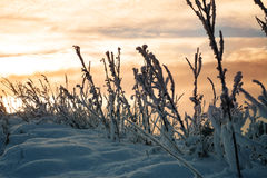 Snowy blades of grass at sunset Royalty Free Stock Photos