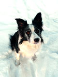 Snowy Border Collie Royalty Free Stock Photos