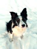 Snowy Border Collie royalty free stock photos