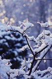 Snowy bough Royalty Free Stock Photo