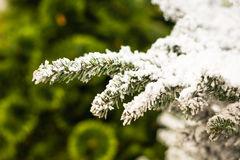 Snowy branch of the Christmas Tree Royalty Free Stock Photo
